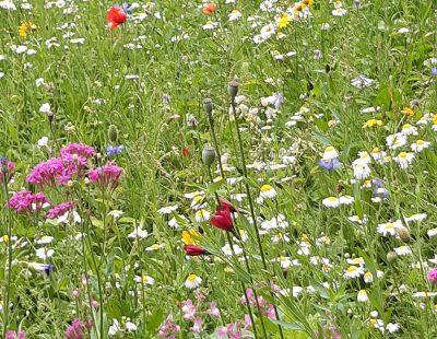 Eine Blumenwiese in Bad Wurzach (Fotos S. Müller)